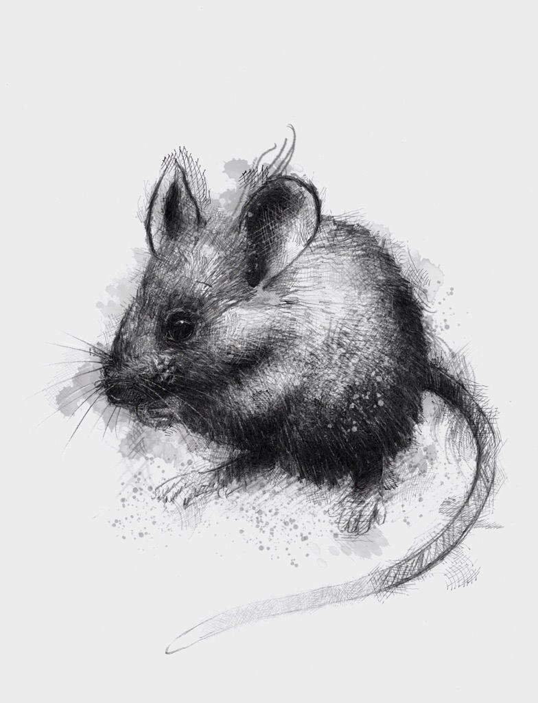 House mouse   Mouse sketch, Sketches, Art
