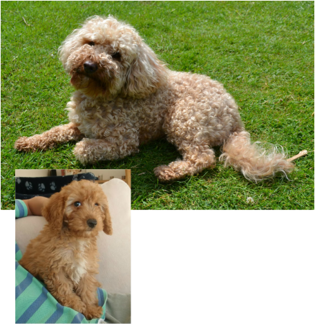 Before and After THE COCKAPOO CLUB OF GB in 2020