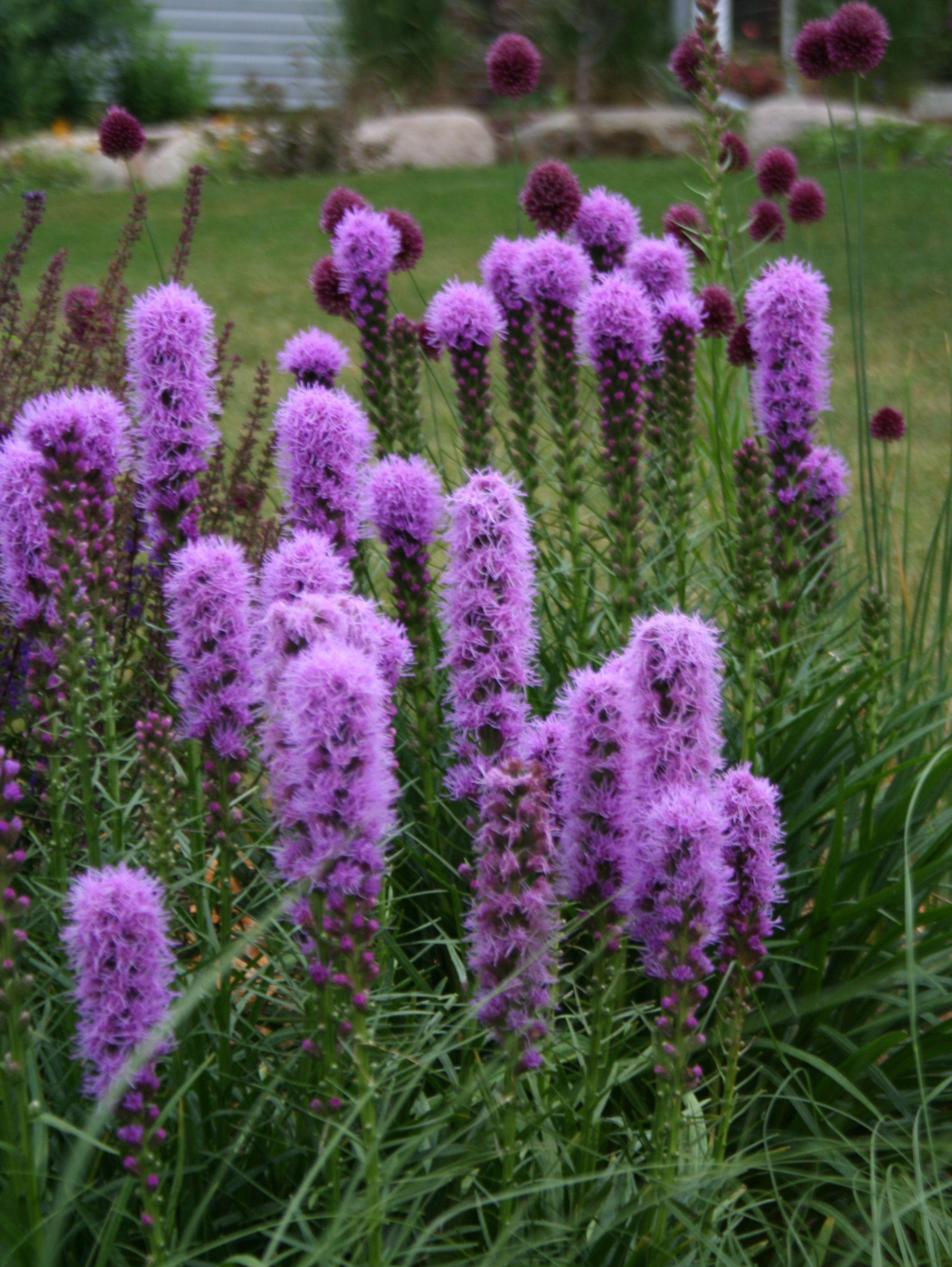 Kobold Liatris Has A Bright Purple Bottlebrush Flower 400 x 300