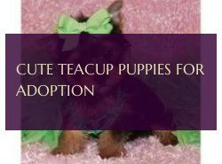 Cute Teacup Puppies For Adoption Süße Teetasse Welpen Zur Adoption #cuteteacuppuppies