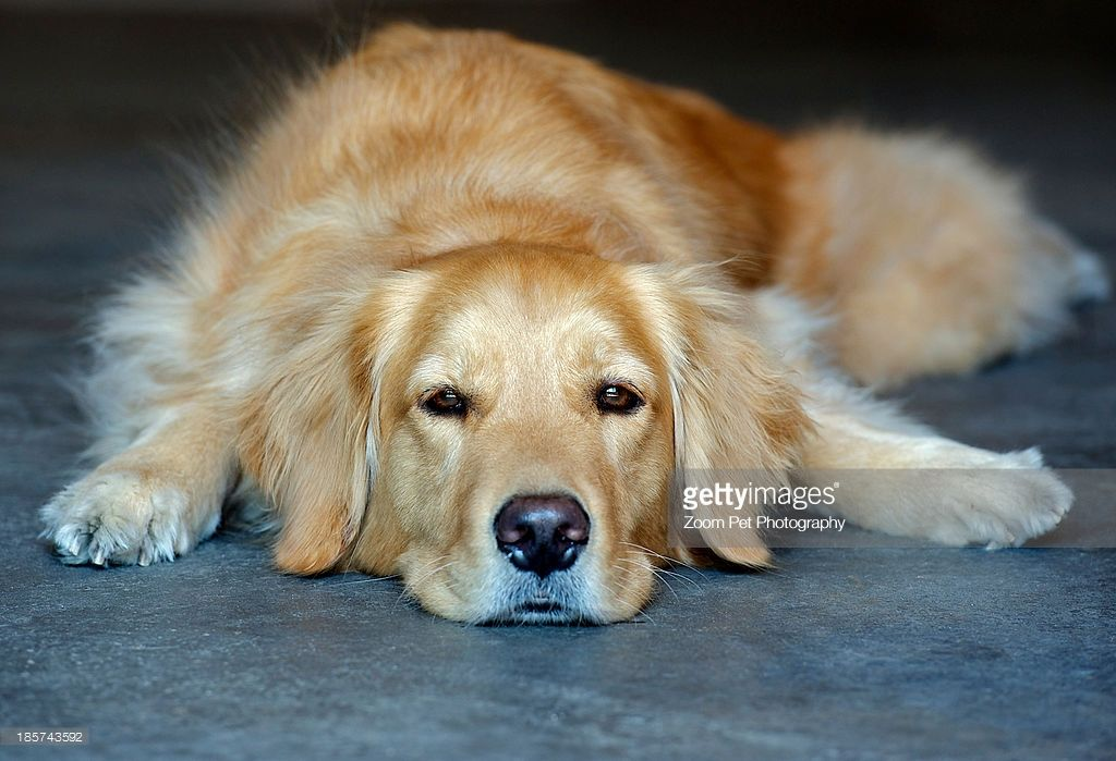 Golden Retriever Lying Down Top 10 Dog Breeds Dog Breeds Dogs