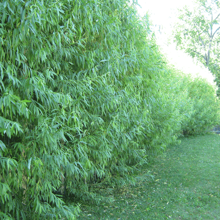Willow Hybrid Tree Fast Growing Trees Privacy Plants Willow Hybrid
