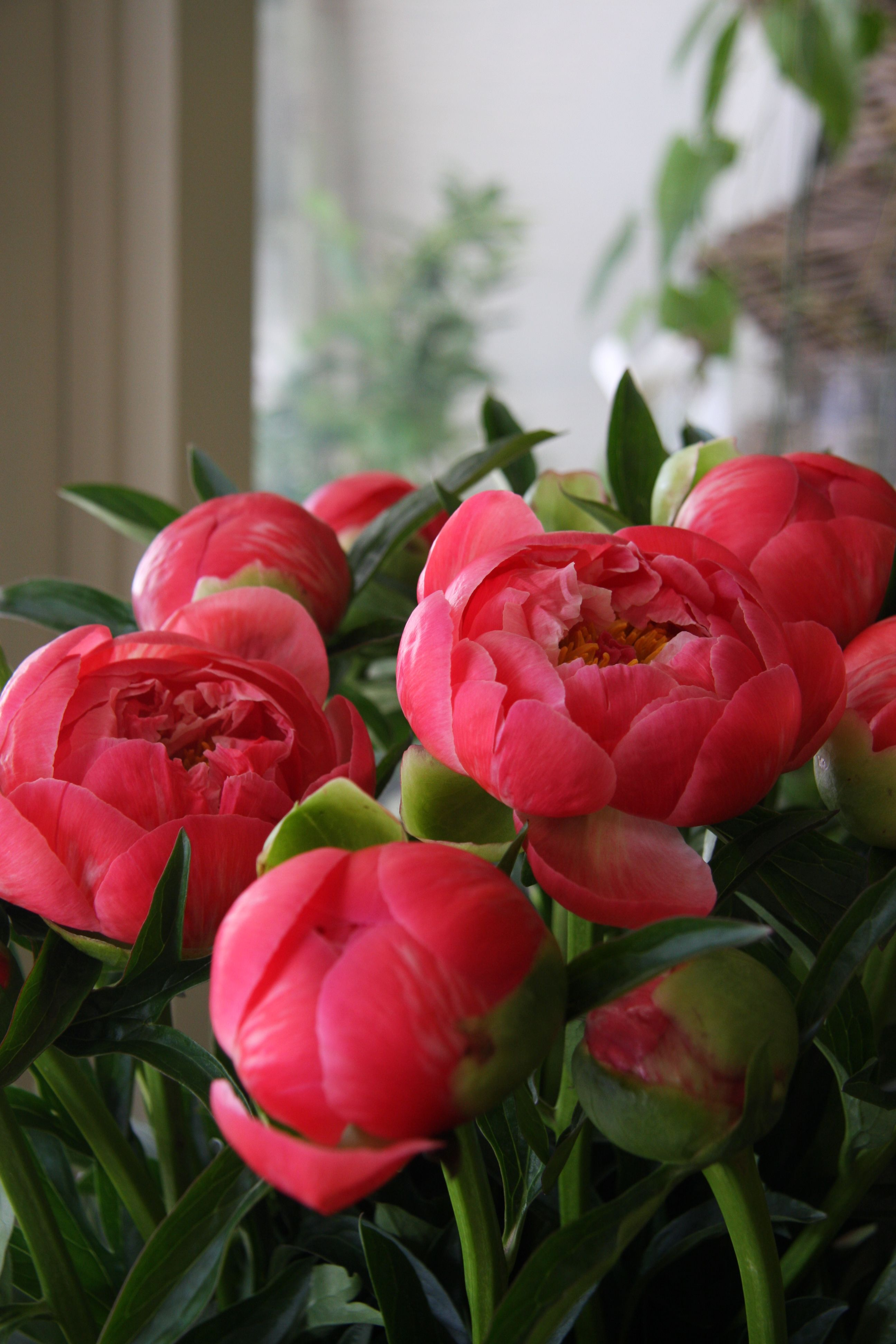 Coral Peonies In The Garden Pinterest Flowers Peonies And