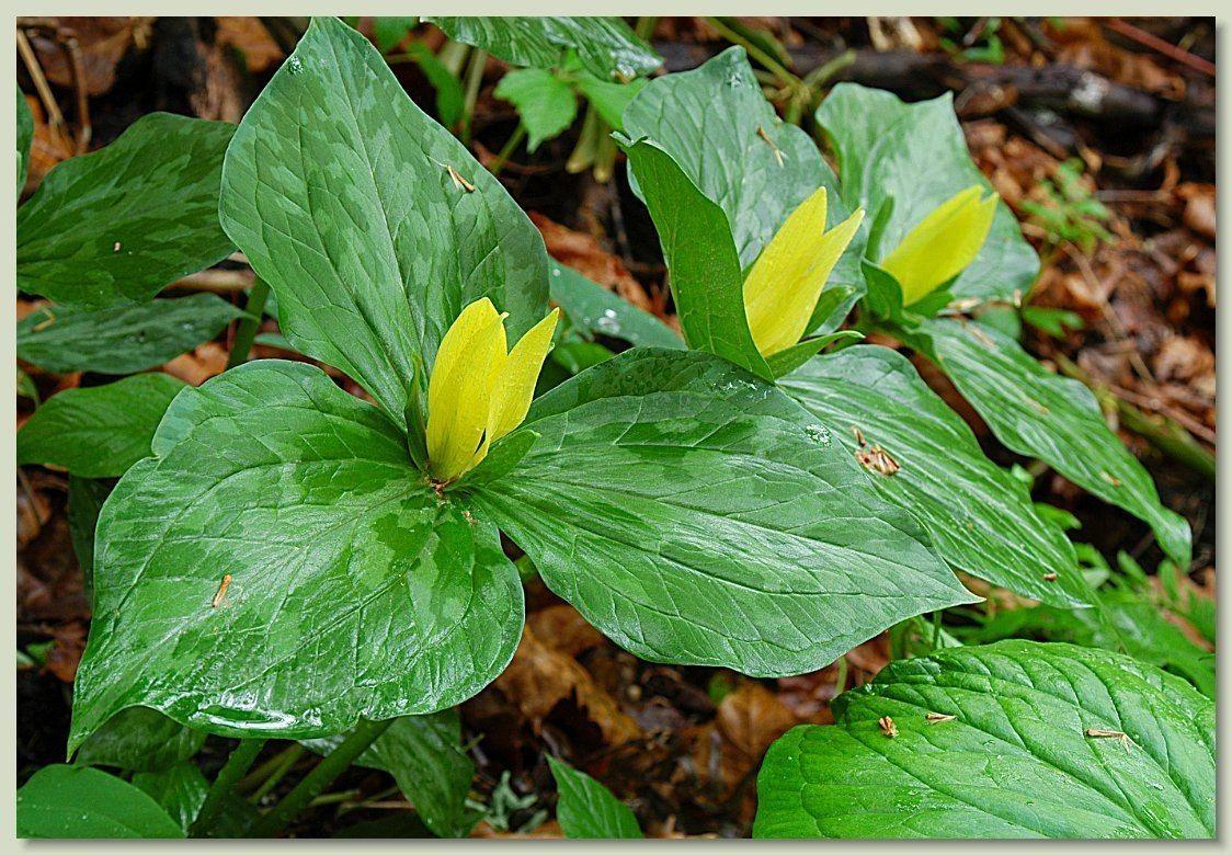 Yellow Trillium Flowers Woodland plants, Native plants
