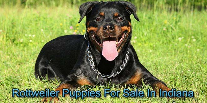 Rottweiler Puppies In Michigan For Sale