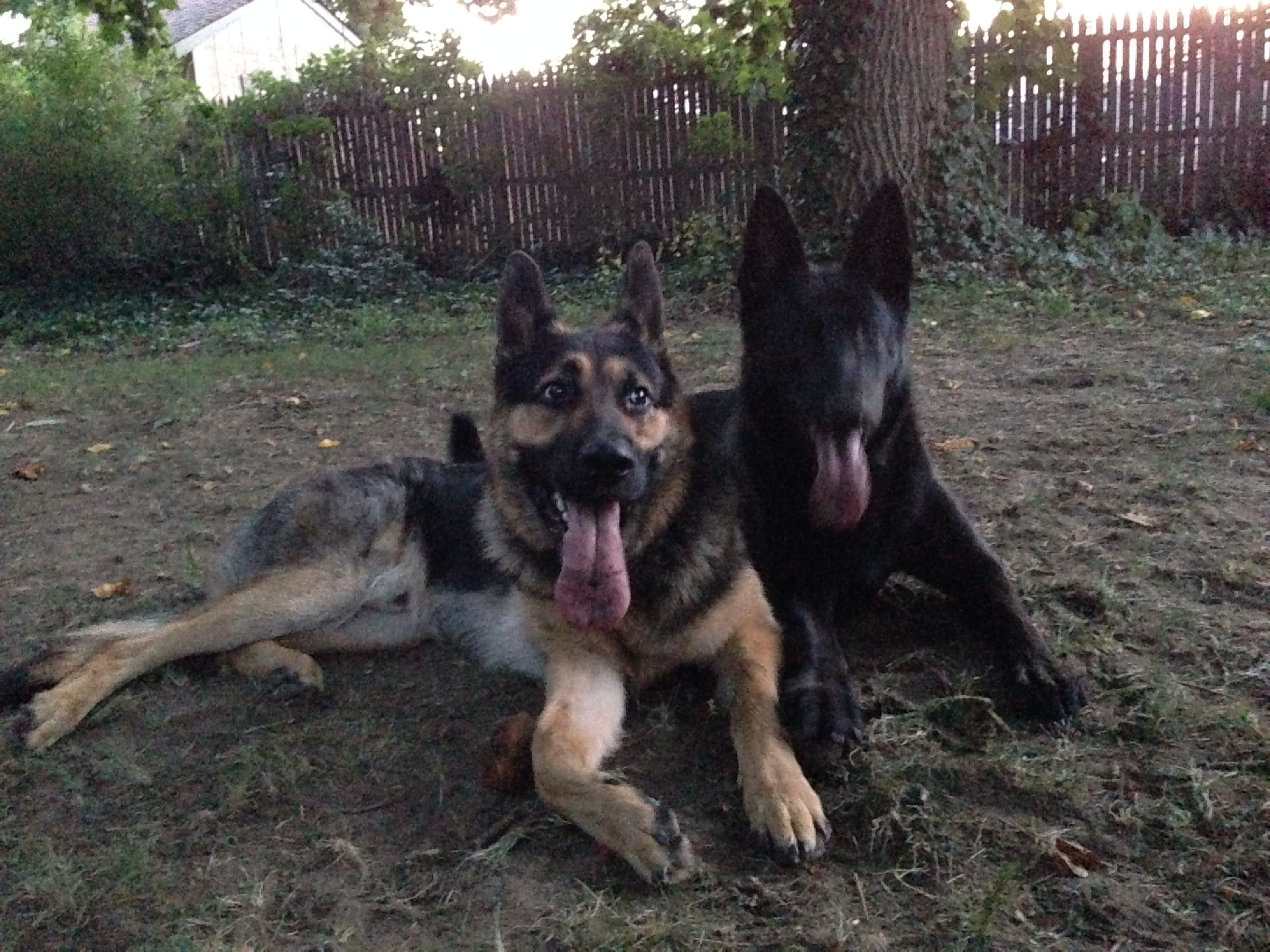 German Shepherd Dog information including pictures, training, behavior, and.