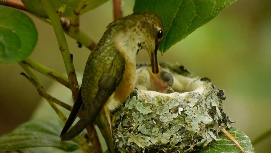 Mother hummingbird feeding baby in nest Baby