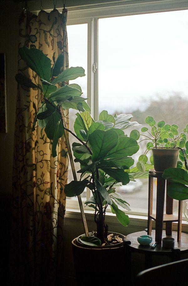 ficus lyrata pilea peperomioides indoor garden pinterest house design och inspiration. Black Bedroom Furniture Sets. Home Design Ideas