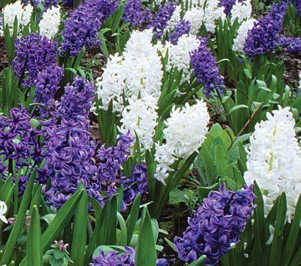 Hyacinthus orientalis smooth sailing mix spring flowers hyacinthus orientalis smooth sailing mix mightylinksfo