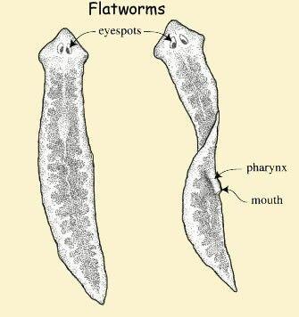 phylum platyhelminthes imagine