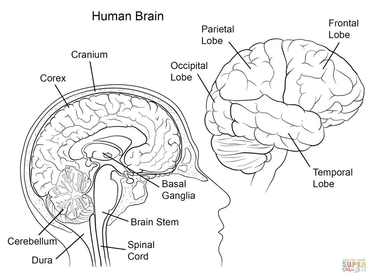 Anatomy Coloring Pages Coloring Pages Human Brain Anatomy