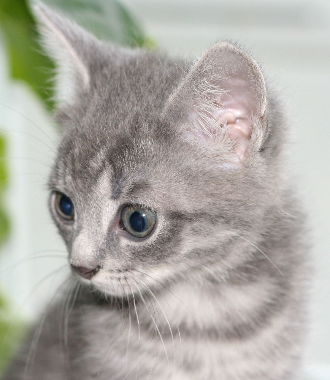 the perfect grey kitten! (With images) Grey tabby