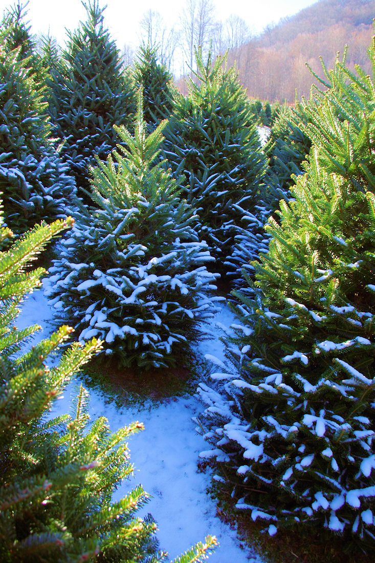 Christmas Tree farm in the North Carolina mountains near