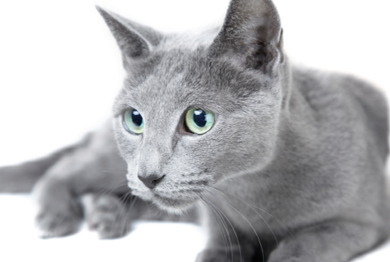 Understanding Your Russian Blue Cat Russian blue, Blue