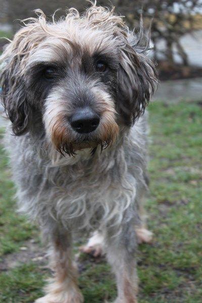 Schnauzer Mix Tierschutzverein Munchen Tiervermittlung Hunde