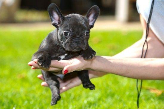Ten Pitfalls To Avoid When Buying A Pedigree Puppy Pets4homes French Bulldog Puggle Dogs Bulldog