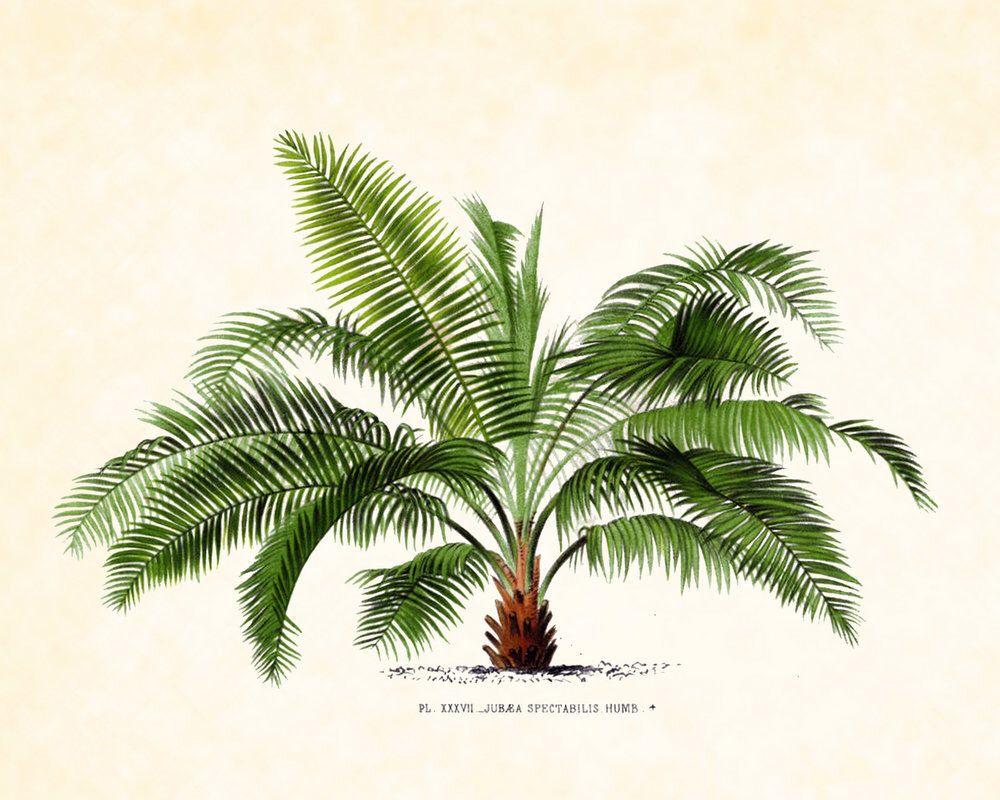 Jubaea Spectabilis Palm Tree Print Palm Trees