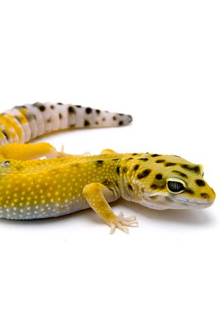 Leopard Gecko Uncategorized Iphone Wallpaper Idesign