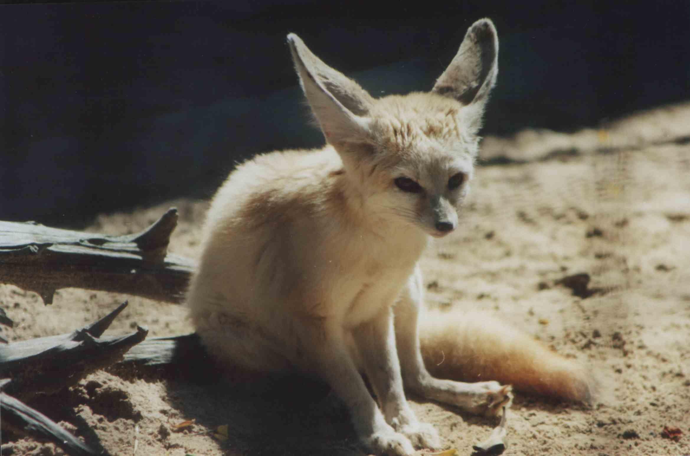 The Fennec Fox Vulpes Zerda Is A Small Nocturnal Fox