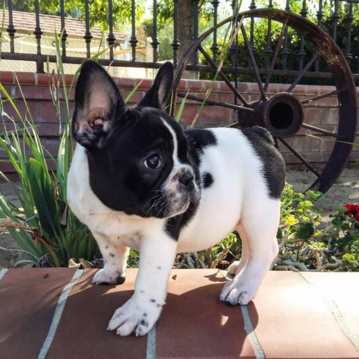 French Bulldog Puppies For Sale Flower Mound Tx French