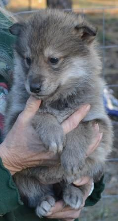 Wolf Hybrid Puppy. Wanna rescue one and let it run around my farm ❤️. Hybrids can be excellent and loving companions but only when placed with the right people. They need room to run, lots of time and attention (they are pack animals), and need to be treated for what they are and not what you want them to be. They are not Labradors and should not be expected to behave like them 100% of the time