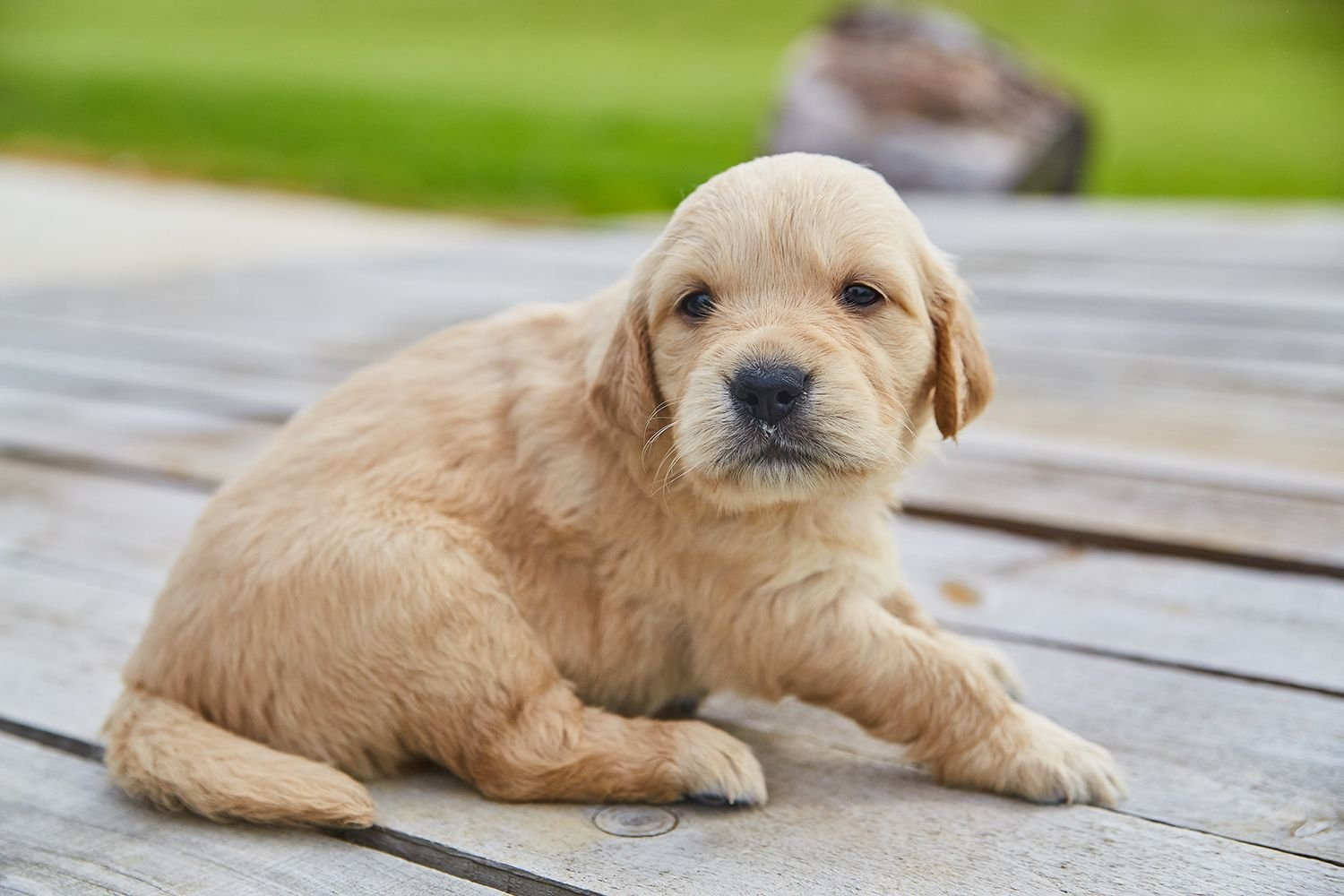 We Are Getting Down To The Final Golden Retriever Pups If You Re Wanting A Family Dog That S Already Used To Small Childr With Images Puppies Golden Retriever Family Dogs