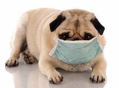 Doctor Pug Dog Coughing Sick Dog Dog Food Allergies