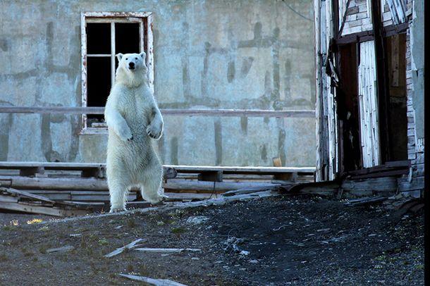 Polar Bear - Novaja Zemlja
