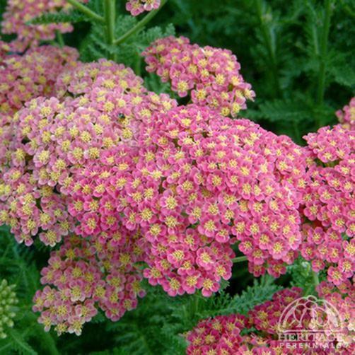 Achillea Perennials Plants Plants Perennials Beautiful Flowers