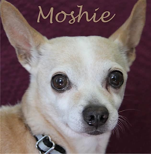 Moshie Is An Adoptable Chihuahua Searching For A Forever Family