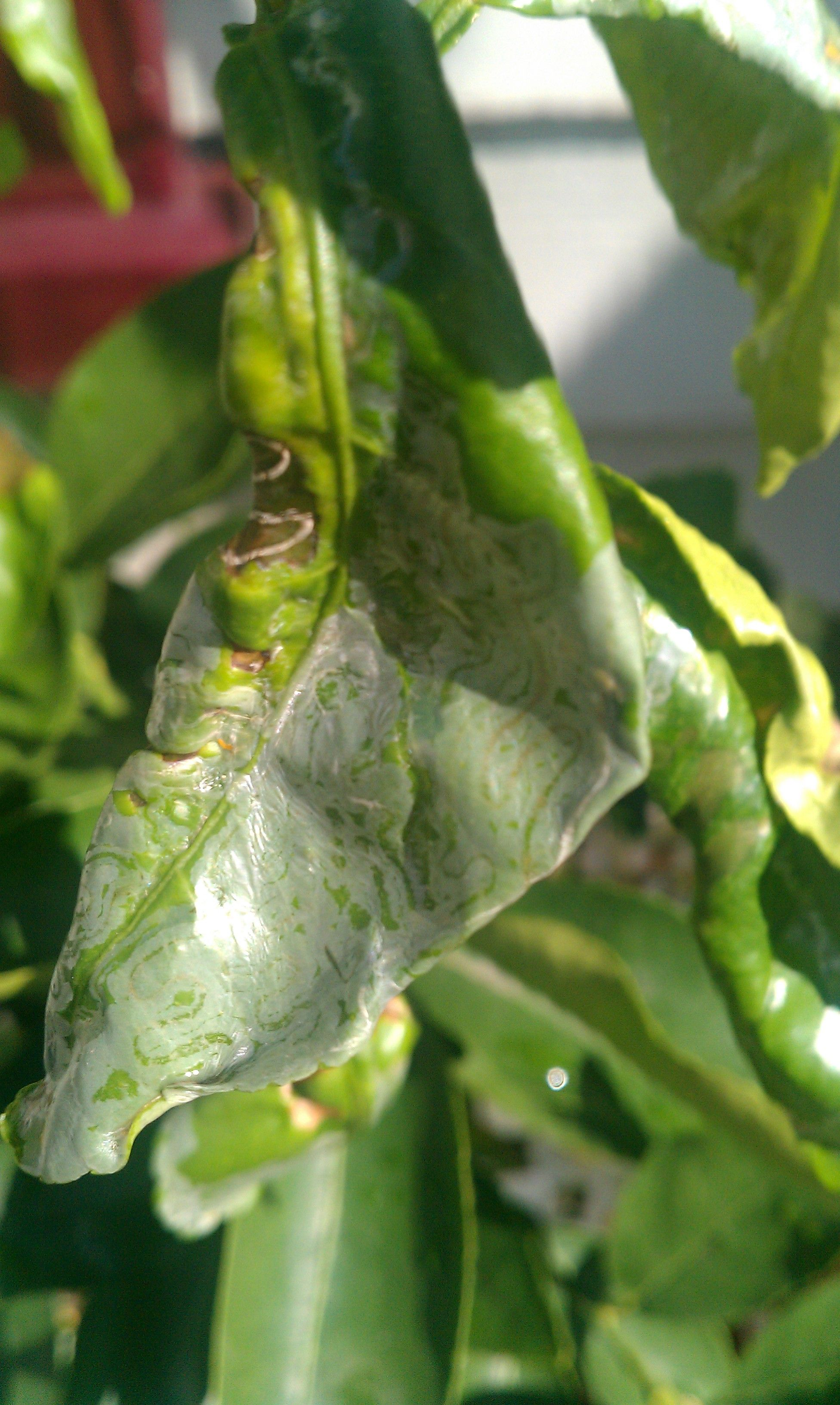 Problems With Lime Trees Getting Rid Of Lime Tree Pests Citrus Plant Citrus Trees Lemon Plant