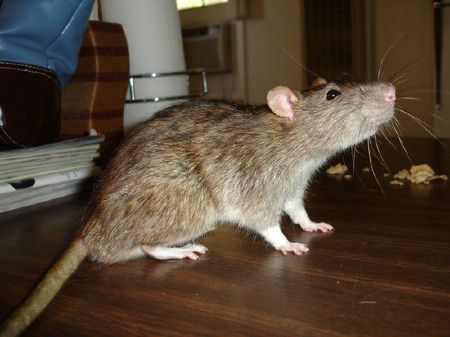 Sewer Rats Rats Norway Rat Sewer