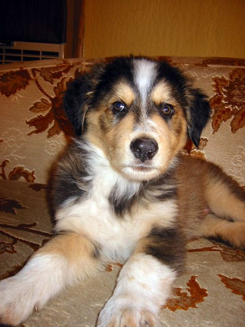 Pin By Jessica Dibari On Animals Dogs Dog Crossbreeds Shepherd Mix Puppies