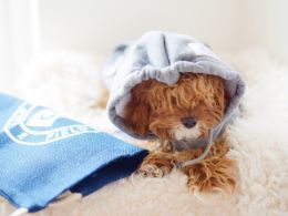 Beautiful Red Cavapoo For Sale Leicester Leicestershire Pets4homes Cavapoo For Sale Cavapoo Sale