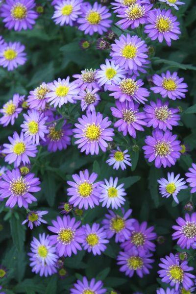 Aster Ageratoides Ezo Murasaki Butterfly Garden Plants Plants Flowers Perennials