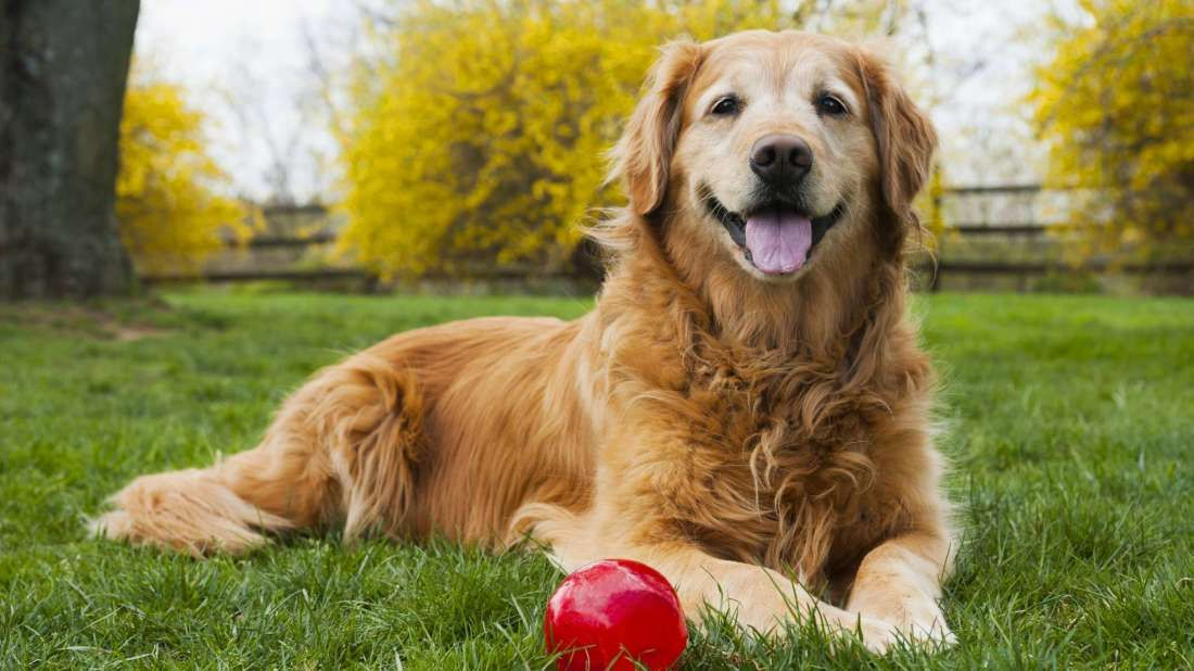Are Dog Years A Real Thing Golden Retriever Dogs Dog Years
