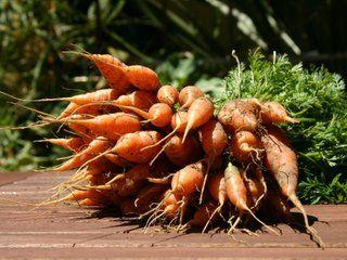 Récolte de carottes