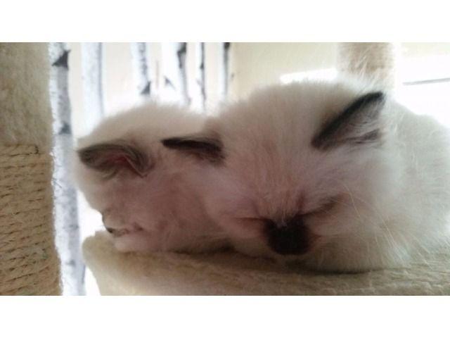 Two Beautiful Home Raised Birman Kittens For Adoption Kitten