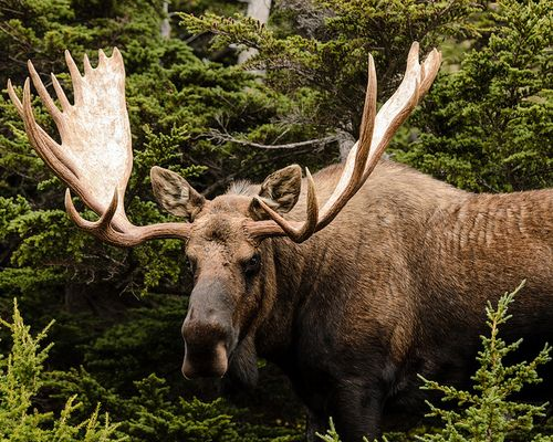Mammal | ANIMAL Teachers: Warm-Blooded Ones: Moose ! Eurasian Elk ...