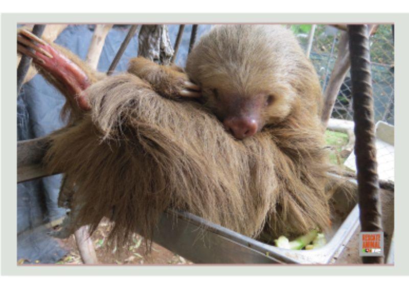 Zooave lucha por ayudar a oso perezoso casi ciego