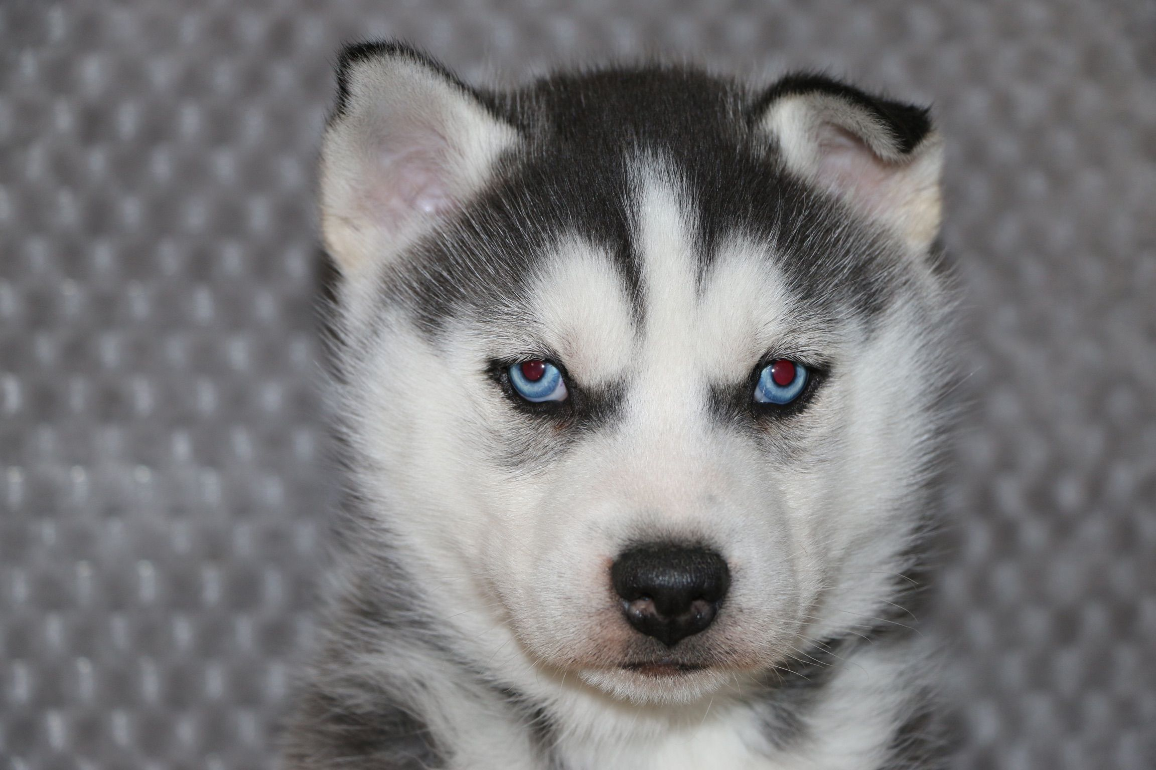 Lars A Bold Male Akc Siberian Husky Puppy For Sale In Indiana