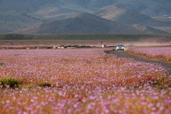 Dit gebeurt er als het regent op de droogste woestijn op aar... - De Standaard: http://www.standaard.be/cnt/dmf20151028_01943077?utm_source=facebook