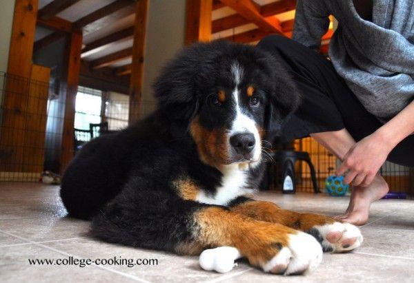 Bernese Mountain Dog Puppy 20 Weeks Old Herder