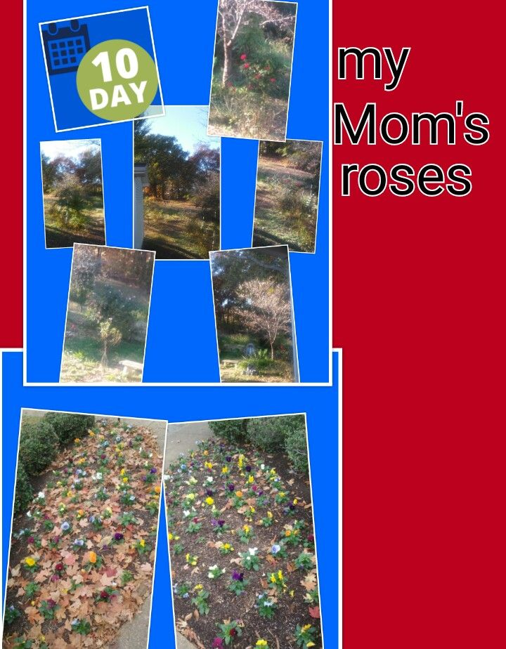 30 Days of Thankfulness 😇 Day 10. I'm thankful that I got to see Mom's roses bloom in November 😊 (11-10-16)