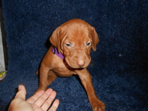 Litter of Vizsla puppies for Sale in SYLVA, NC, USA. ADN