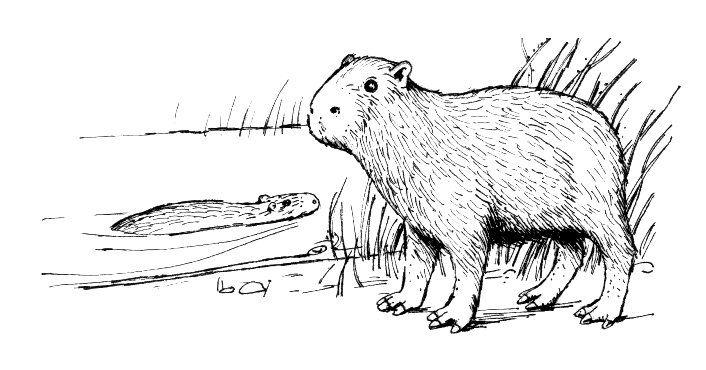 Reader Bee Animal Coloring Pages Capybara Unusual Animals