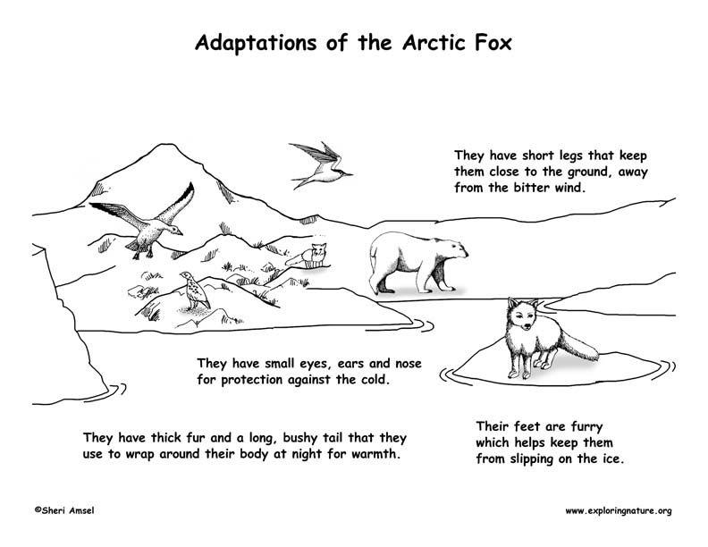 arctic fox adaptations - Google Search | Biomes | Pinterest ...