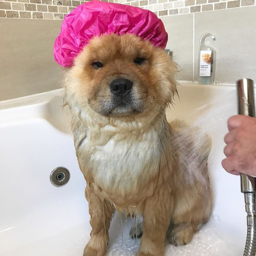 Kevin The Chow Chow On Twitter A Bath Why Human Why I Don T Kevin