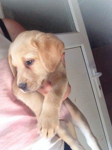 Kc Registered Labrador Puppy S Ready Now Labrador Puppies
