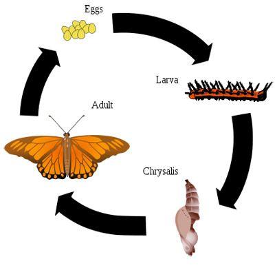 Metamorphosis Butterfly Facts Metamorphosis Butterfly Identification